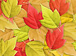 Leaf Stock Photography: Abstract Colorful Nature Background With Group Of Autumn Leafs.Close-up. Studio Photography