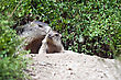 Alpine Baby Marmot And Mother stock photo