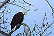 North American Bald Eagle Perched In A Tree stock image