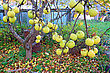 Autumn Stock Photography: Apple On Branch In Autumn Garden