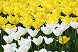 Beautiful White And Yellow Tulips Glowing In Sunlight - stock photography