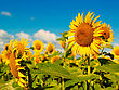 Outside Beauty Sunflowers On The Field, Natural Landscape stock photo