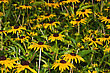 Black-eyed Susan (Rudbeckia Hirta), Native To North America - stock photo