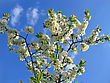 Blossoming Tree With White Flowers On Blue Sky Background - stock photo