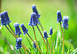 blue flowers with spring green grass on the background.jpg
