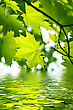 Close Branch Of Fresh Green Maple Foliage With Water Ripples stock photo