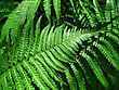 Close Up Of Fresh Green Fern Leafs Background stock photography