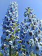 Spring Closeup Picture Of Beautiful Delphinium Flowers stock image