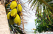 Coconuts Hanging From A Palm Tree By The Sea stock photography