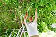 Elderly Man Cuts A Tree Branch. Mulberry Tree. A Man Stands On A Stepladder stock photography