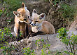 Stock Photo : Small Stock Photo: Fox Kits Canada At Play Saskatchewan Canada