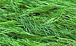 Fresh Stock Image: Fresh Green Dill