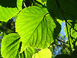 Fresh Green Leaf Of Linden Tree Glowing In Sunlight stock photography