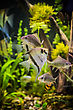 Landscape Green Beautiful Planted Tropical Freshwater Aquarium With Fish Pterophyllum Scalare stock photo