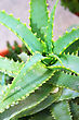 Green Leaves Of Aloe Vera Plant.