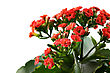 Kalanchoe Red Flowers Closeup On White