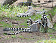 Lemurs And Their Baby In The Zoo stock photo