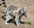 Stock Photo : Small Pictures: Lemurs And Their Baby In The Zoo