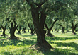 Stock Photo : Italy Stock Image: Olive Trees, Tuscany, Italy