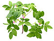 Leaf Stock Photography: One Branch Of Dog Rose With Leafs And Buds. Isolated On White Background. Close-up. Studio Photography