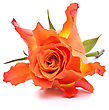 Orange Rose Isolated On White Background Cutout