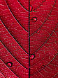 Red Leaf with Water Drops