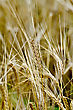 Ripe Rye Ears On A Background Field Of Rye stock photo