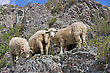 Stock Photo : Mountain Stock Photo: Sheep On Beautiful Mountain Meadow