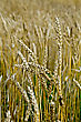 Cornfield Spikelets Of Wheat Against The Background Of A Golden Wheat Field stock image