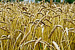 Cornfield Spikelets Of Wheat Against The Background Of A Wheat Field And Trees stock photo