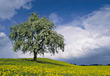 Stock Photo : Field Stock Photo: Tree In Field Of Yellow Flowers