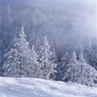 Stock Photo : Scene Stock Photo: Winter Scene with Snowy Pines