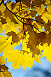 Yellow Autumn Maple Leaves On Trees In Park. stock image
